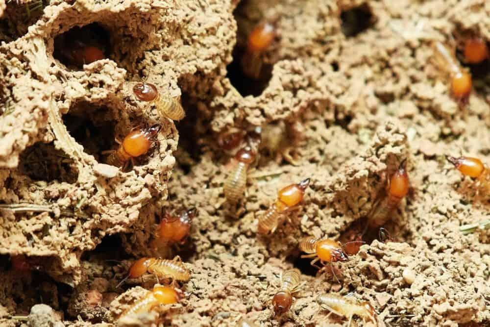 Termites damage repair